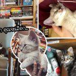"""ร้านหนังสือในแคนาดา มี """"ลูกแมว"""" มากมายคอยบริการลูกค้า จะเล่นด้วยหรือรับเลี้ยงก็ได้"""