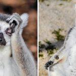 ลีเมอร์นักดื่มประจำสวนสัตว์ ออกมาต้อนรับนักท่องเที่ยวด้วยท่าทีมึนๆ เพราะยังเมาค้างอยู่