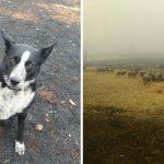 'Patsy' สุนัขเลี้ยงแกะแสนรู้ เสี่ยงชีวิตต้อนฝูงแกะนับร้อยหนีไฟป่า จนทุกตัวปลอดภัย