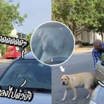 หมาเบื่อรอเจ้าของในรถ บีบแตรเรียกร้องความสนใจ จนเจ้าของต้องเปิดรถให้