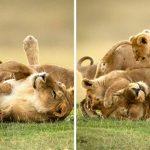 เผยภาพแม่สิงโตเล่นกับลูกๆ อย่างสนุกสนาน มุมอ่อนโยนของเจ้าป่า ไม่บ่อยนักที่จะได้เห็น