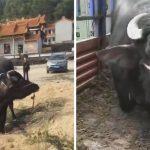 'วัวท้องแก่' กำลังถูกลากไปโรงฆ่าสัตว์ มันจึงคุกเข่าลงและร้องไห้ เพื่อขอให้ไว้ชีวิตมัน
