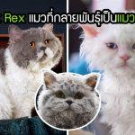 """Selkirk Rex"" แมวกลายพันธุ์ เกิดมาพร้อมขนหยิกหยอย จนถูกเรียกว่า ""แมวพุดเดิ้ล"""