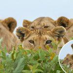 ช่างภาพย่องถ่ายรูปฝูงสิงโต แต่พวกมันดันรู้ตัวซะก่อน เขาจึงกลายเป็นผู้ถูกแอบมองแทน