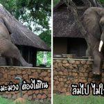 """""""ช้างแสนรู้"""" ไม่อยากเดินอ้อม จึงตัดสินใจข้ามกำแพง เพื่อไปขโมยมะม่วงที่อยู่ฝั่งตรงข้าม"""