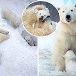 โมเมนต์สุดน่ารักเมื่อแม่หมีขั้วโลกพาลูกๆ วัยกำลังซนออกมาเล่นข้างนอกเป็นครั้งแรก