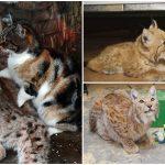 แมวจรผูกมิตรกับลิงซ์ในกรง กลายเป็นคู่เพื่อนรักแมวเล็กและแมวป่าประจำสวนสัตว์