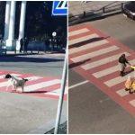 หมาจรจัดผู้แสนดี ช่วยหยุดรถตรงทางม้าลาย เพื่อให้เด็กๆ ข้ามถนนอย่างปลอดภัย
