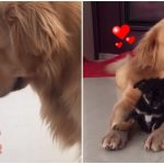พี่หมาโกลเดน ได้เจอลูกหมาน้อย เกิดเป็นมิตรภาพอันสวยงามระหว่างหมาต่างไซส์