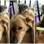 หมาโกลเด้นโกลเด้นกอดลูกโคอาลา ให้ความอบอุ่นกับมันในยามค่ำคืน
