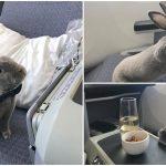 เจ้ากระต่ายโชคดี ได้นั่งชั้นเฟิร์สคลาสข้างเจ้าของแบบฟรีๆ ดูชีวิตดี๊ดีจนน่าอิจฉา