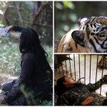 หนุ่มเลี้ยงเสือเบงกอลตัวใหญ่ยักษ์ไว้ที่บ้าน เอ็นดูมันไม่ต่างจากสัตว์เลี้ยงตัวน้อย