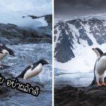 รวมภาพเพนกวินบนเกาะแอนตาร์กติกา มหัศจรรย์แห่งความงามที่ควรค่าแก่การอนุรักษ์