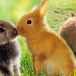 รู้รึเปล่า กระต่ายควรเลี้ยงด้วยกันตั้งแต่ 2 ตัวขึ้นไป ไม่อย่างนั้นมันอาจเหงาตายได้!!