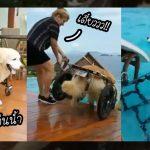 หมาโกลเด้นไม่ยอมให้ความป่วยมาถ่วงชีวิต วิ่งลงเล่นน้ำตามที่อยากทั้งที่ยังใส่วีลแชร์
