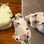 """""""แมวอ้วน"""" อึดอัดเมื่อเลียขนบางจุดไม่ถึง หมอจึงโกนขนส่วนนั้นให้… ทำเอาทาสขำหนักมาก"""