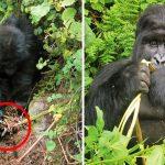 'ลิงกอริลล่า' โชว์ความเฉลียวฉลาด ช่วยกัน 'ปลดกับดัก' ที่นักล่าทำไว้ในป่า