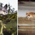 'หมาป่าทะเล' สัตว์น่าทึ่งที่สามารถว่ายน้ำได้นานหลายชั่วโมง อาศัยอยู่ตามชายฝั่งมหาสมุทร