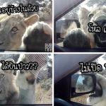 """""""สิงโต"""" พุ่งเกาะกระจกรถนักท่องเที่ยว ก่อนจะส่องเข้าไปข้างในด้วยความอยากรู้อยากเห็น"""