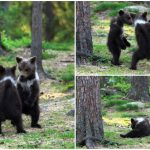 คุณครูเจอลูกหมี 3 ตัวเต้นรำด้วยกันกลางป่า อดไม่ได้ขอถ่ายความน่ารักของมันเก็บไว้