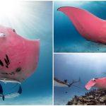 """ช่างภาพจับภาพ """"ปลากระเบนสีชมพู"""" หายากได้ ซึ่งอาจมีเพียงตัวเดียวในโลกนี้"""
