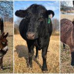 ครอบครัวพึ่งพาลาแคระ เพื่อให้มันช่วยนำทาง ให้กับวัวและม้าตาบอดในฟาร์ม