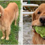 หมาโกลเด้นทำสถิติโลกใหม่ คาบลูกบอลไว้ในปากถึง 6 ลูกในคราวเดียวกัน!!