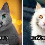 17 พันธุ์แมวที่มีเสน่ห์เป็นเอกลักษณ์ จนแม้แต่คนที่รักแค่สุนัขยังต้องตกหลุมรัก