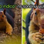 """นี่คือ """"Ratufa indica"""" กระรอกยักษ์แก้มป่อง อุ้งเท้าตุ้ยนุ้ย รักสันโดษ พบได้ในอินเดีย"""