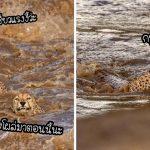 """สีหน้าของ """"แก๊งเสือชีตาร์"""" 5 ตัว เมื่อต้องข้ามแม่น้ำที่เชี่ยวกรากและเต็มไปด้วยจระเข้!!"""