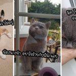 """""""แมวหนุ่ม"""" โกรธเมื่อแมวสาวที่แอบชอบไม่ยอมออกมาเล่นด้วย แต่มันก็ยัังตามตื้อทุกวัน"""