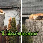 """คุณพ่อตื่นเต้นมากๆ เมื่อมี """"สุนัขจิ้งจอก"""" เป็นเพื่อนบ้าน ขณะที่มากักตัวในพื้นที่ห่างไกล"""