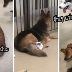 'นุ้งหมาแสนฉลาด' ชอบนอนพิงตัวพี่ตูบที่ขนนุ่มที่สุดในศูนย์รับฝากเลี้ยงสุนัข จนใครๆ ก็เอ็นดู