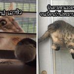 21 สถานการณ์ที่พิสูจน์ว่าแมวมีตรรกะแปลกๆ และมีเพียงเจ้าของเท่านั้นที่เข้าใจ…