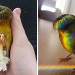 """Barry"" นก Gloster canary ผู้เกิดมาพร้อมทรงผมสุดชิค ราวกับกะลาครอบหัวยังไงอย่างนั้น"