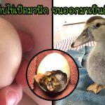 หญิงใจดีเห็นไข่เป็ดร่วงจากรัง จึงเก็บมาฟักในยกทรงจนออกมาเป็นตัวและเติบโตแข็งแรง
