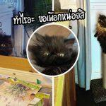 'นุ้งแมวขาสั้น' ค้นพบวิธีสุดสร้างสรรค์ในเรียกร้องความสนใจจากแม่ที่ทำอาหารในครัว
