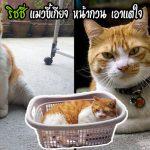 """พบกับ """"ริชชี่"""" แมวขี้เกียจ หน้ากวน แถมเอาแต่ใจสุดๆ แม้ตัวอ้วนตั๊บแต่นางก็ไม่แคร์"""