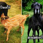 'ลูกกวางกำพร้า' ถูกเลี้ยงดูโดยสุนัขจนเติบใหญ่ มันจึงตอบแทนด้วยการกลับมาเยี่ยมทุกวัน