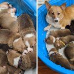 """แม่หมาคอร์กี้รับเลี้ยง """"ลูกหมาพิตบูลล์กำพร้า"""" รักและดูแลพวกมันเหมือนลูกตัวเองทุกอย่าง"""