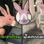 """""""กระต่ายไร้ขน"""" จะถูกฆ่าเพราะไม่มีใครต้องการ แต่หญิงสาวได้ช่วยไว้และมอบชีวิตที่ดีให้"""