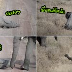 เงิบหนัก! เมื่อนุ้งช้างงอแง ลงไปนอนกลิ้งกับพื้น หวังให้แม่สนใจ แต่แม่เดินผ่านไปเฉย…