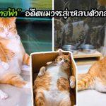 """""""สายฟ้า"""" อดีตแมวจรที่ถูกพบในบ้านร้าง ได้รับชีวิตใหม่จนกลายเป็นเซเลบตัวอ้วนตั๊บ"""