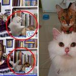 นักข่าวสุดเซ็งเมื่อแมวแสบ 2 ตัวในบ้านต่อสู้กัน ขณะที่เธอกำลังไลฟ์สดรายงานข่าว
