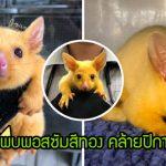 """คลินิกสัตว์ในออสเตรเลียช่วย """"ลูกพอสซัมสีทอง"""" ซึ่งเป็นพันธุ์หายาก ดูคล้ายปิกาจูไม่มีผิด"""