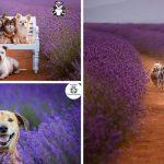 ช่างภาพพาเหล่าสัตว์เลี้ยงไปถ่ายรูปท่ามกลางทุ่งลาเวนเดอร์ทุกปี และนี่คือภาพที่ดีที่สุด