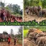 พิษโควิด!! ควานช้างพาช้างนับร้อยเชือกเดินทางกลับบ้าน หลังนักท่องเที่ยวลดลง