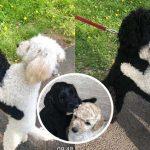 น้องหมาสองพี่น้องโผเข้ากอดกันเมื่อเจอกันโดยบังเอิญ หลังแยกจากกันนาน 10 เดือน