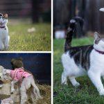"""""""ลูกแมวจร"""" ถูกช่วยและโตมาในฟาร์ม มันจึงตอบแทนด้วยการช่วยดูแลสัตว์ในฟาร์มทุกตัว"""