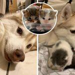 """""""ลูกแมวกำพร้า"""" รักและติด """"พี่ฮัสกี้ผู้อ่อนโยน"""" มาก เพราะเข้าใจว่านางเป็นแม่ของพวกมัน"""